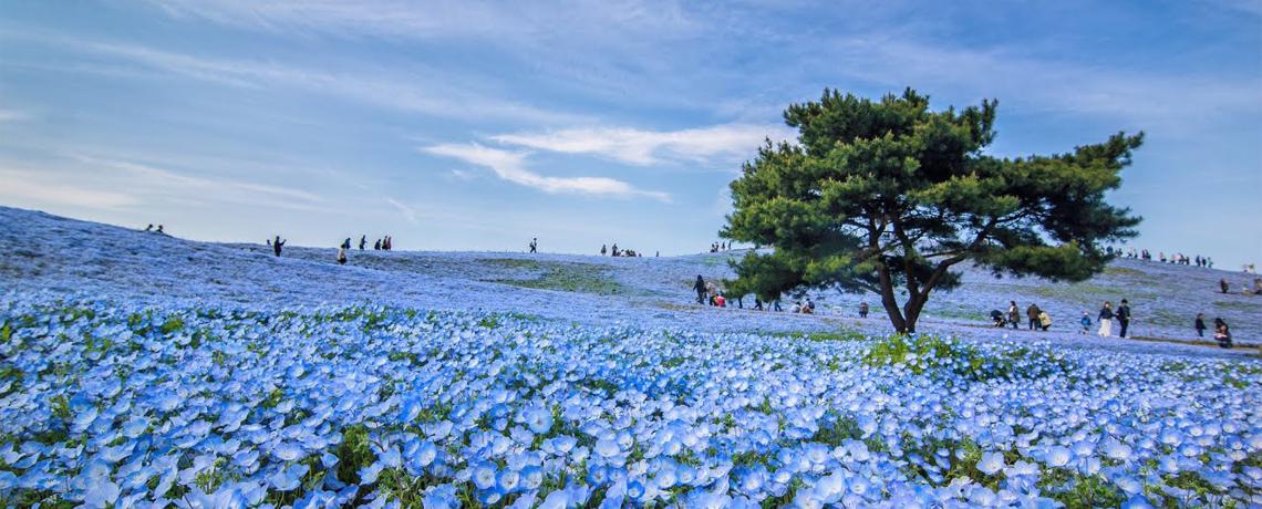 7D Explore Tokyo + Tokyo Disneyland, Hitachi Seaside Park dan Gotemba Premium Outlets