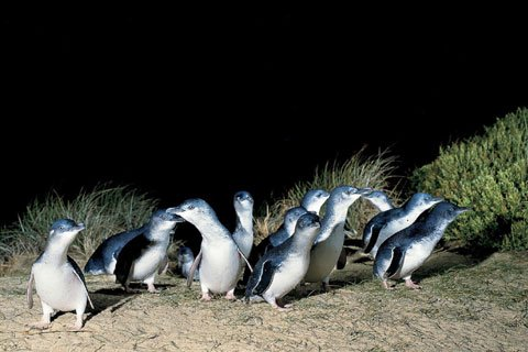 Penguin Parade Phillip Island Experience