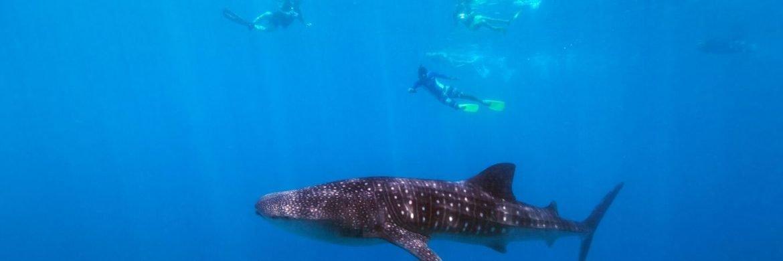 4D/3N Favourite Nabire Whale Shark Adventure