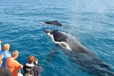 Whale Watching Cruise Experience from Gold Coast