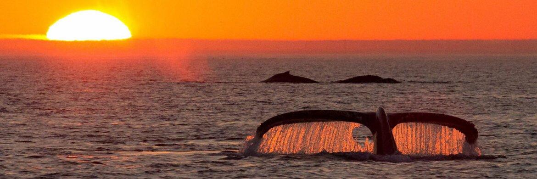 Gulf Humpback Whalewatching Sunset Tour